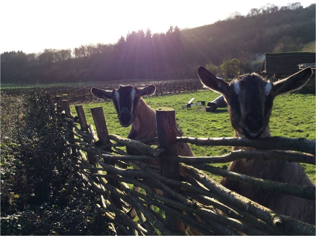goats saying hello